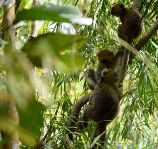 Plus de 300 grands hapalémurs protégés par Helpsimus