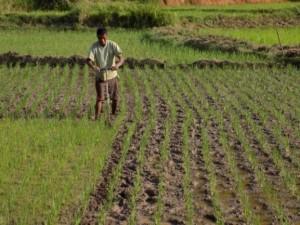 rizière et sarclette