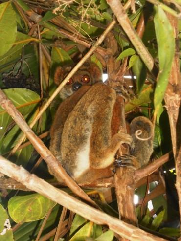 Une nouvelle espèce de lémurien confirmée sur le site du programme «Bamboo lemur»