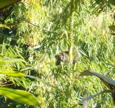 Une deuxième espèce d'hapalémur sur le site du programme «Bamboo lemur»