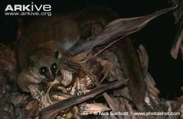 La présence d'une cinquième espèce de lémuriens confirmée sur le site du programme bamboo lemur