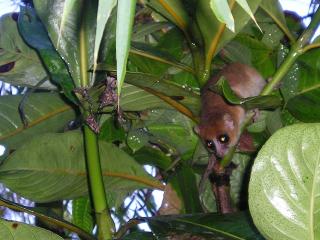 Des microcèbes sur le site du programme Bamboo lemur !