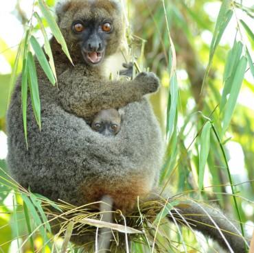 55 naissances de grands hapalémurs enregistrées sur le site du programme Bamboo lemur !