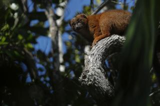 Etude de la cohabitation du groupe V avec les lémurs à ventre roux