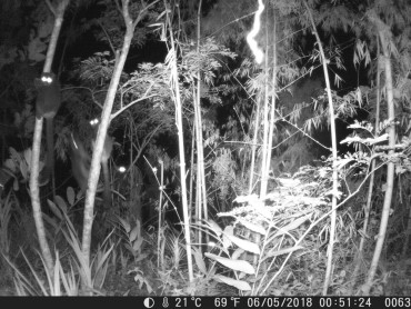 Activités nocturnes des grands hapalémurs