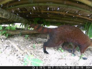 Suivi des mangoustes à queue annelée