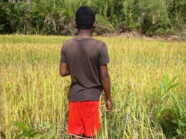 Protection des rizières – 4ème partie et premier bilan du gardiennage !